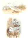 BRITISH BIRDS: Common Gull; Kittiwake. THORBURN; vintage print 1925